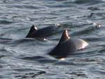 harbor porpoise mom and calf