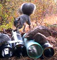 Western Gray Squirrel on hair sampling tubes