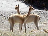 two vicunas